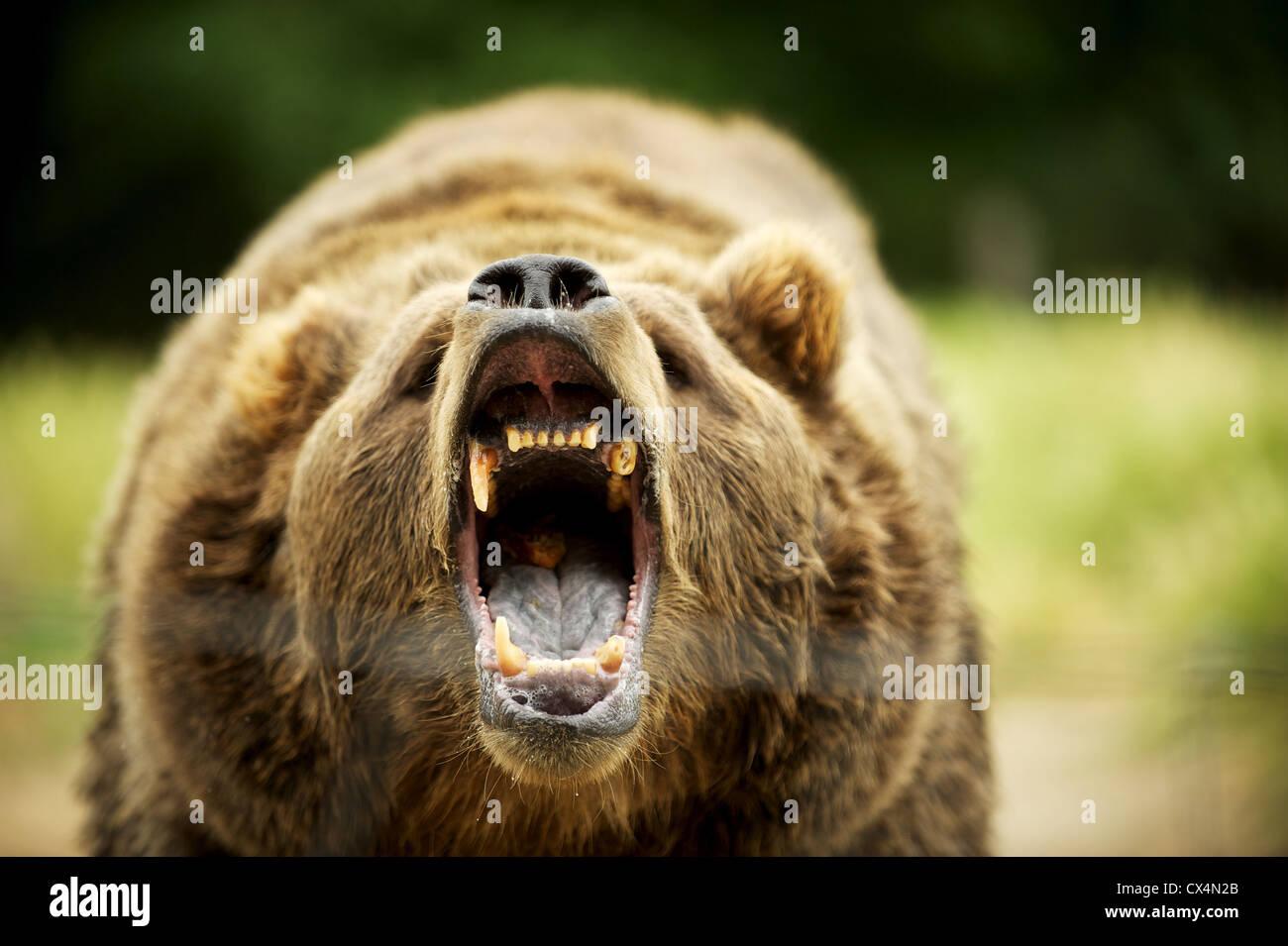 Kodiak Grizzly Bear. The Olympic Game Farm. Sequiem, Olympic Peninsula, Washington State, USA - Stock Image