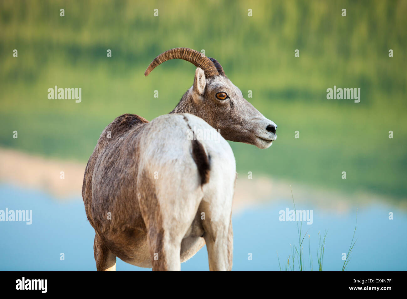 Female Big Horn Sheep (Ovis canadensis) in Jasper National Park, Rocky Mountains, Canada - Stock Image