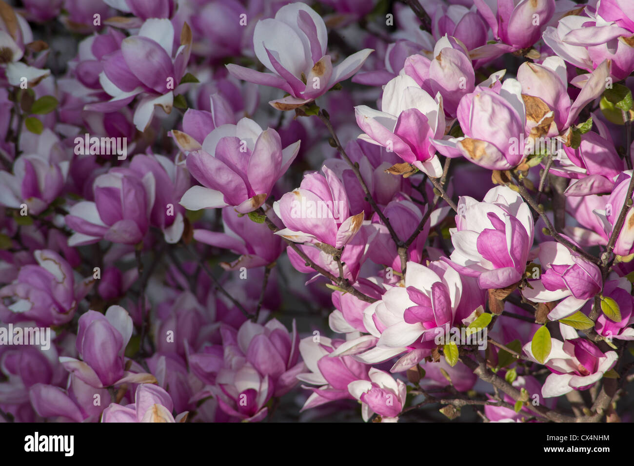 Purple lily magnolia flowers in south korea stock photo 50506560 purple lily magnolia flowers in south korea izmirmasajfo