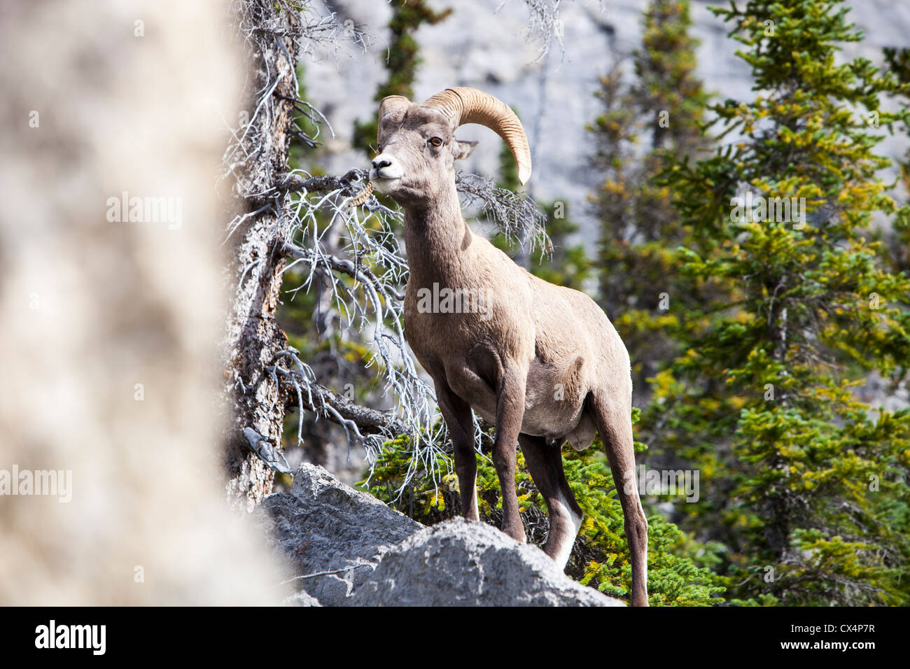 A Male Big Horn Sheep (Ovis canadensis) in the Rocky Mountains, Canada. - Stock Image
