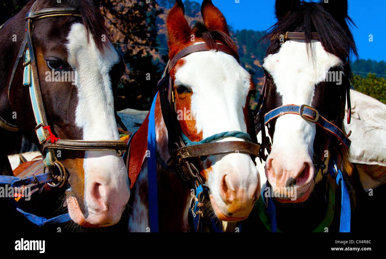 Three Horses . - Stock Image