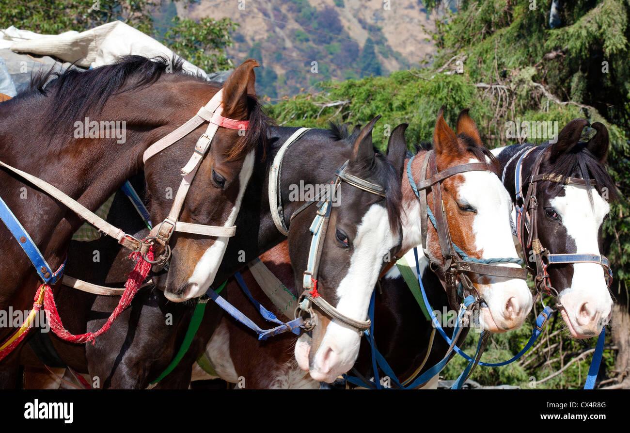 Horse herd - Stock Image