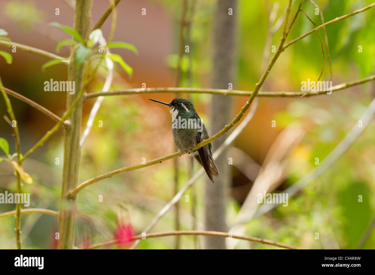 Male White-throated Mountain-gem (Lampornis castaneoventris) hummingbird perched on branch in forest, Savegre area, - Stock Image