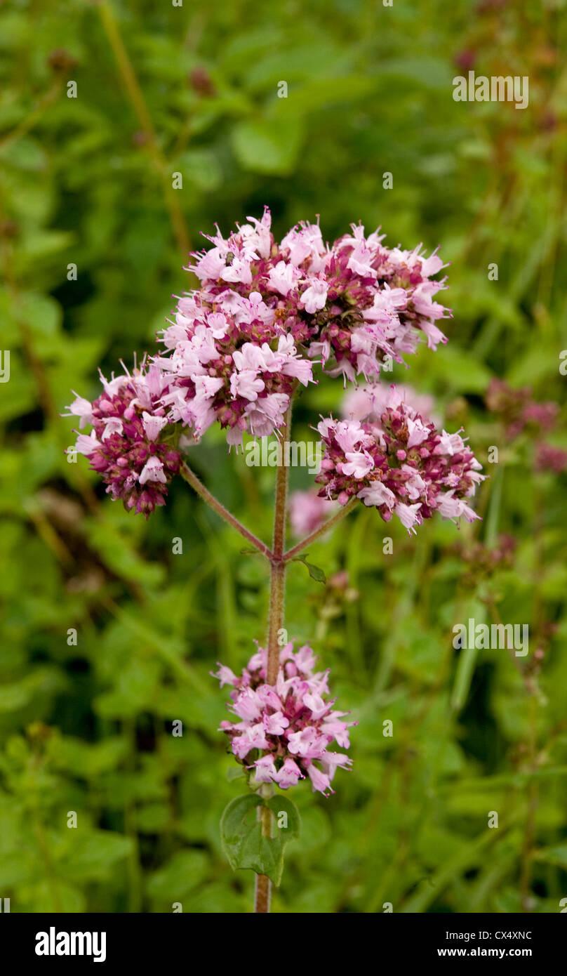 Marjoram, Origanum vulgare, flowering in rough grassland, Gloucestershire, UK. July. Stock Photo