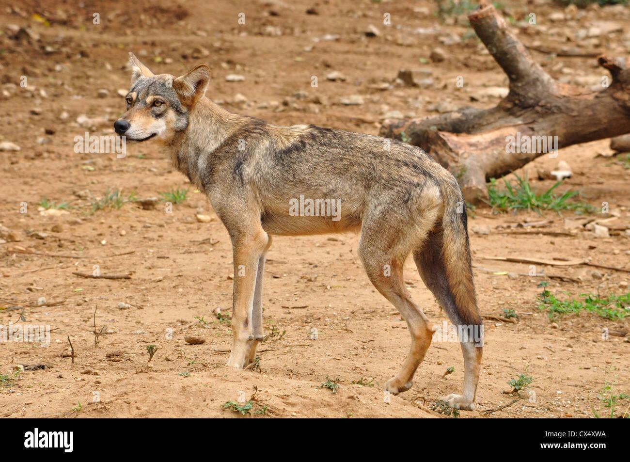 Indian wolf ( Canis lupus pallipes ) - Stock Image