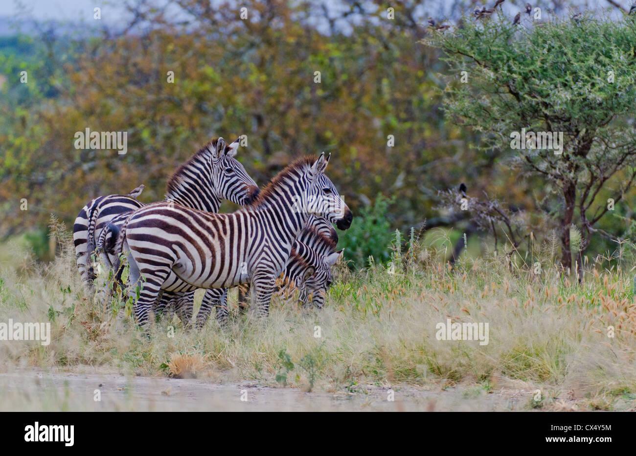 Amboseli National Park Kenya Africa safari zebra wild in reserve Amboseli  - Stock Image