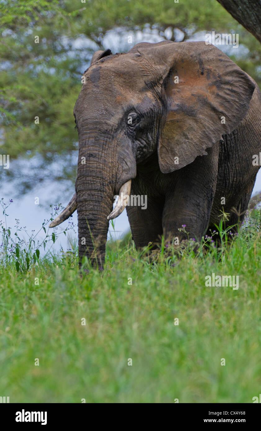 Amboseli National Park Kenya Africa safari elephant wild in reserve Amboseli - Stock Image