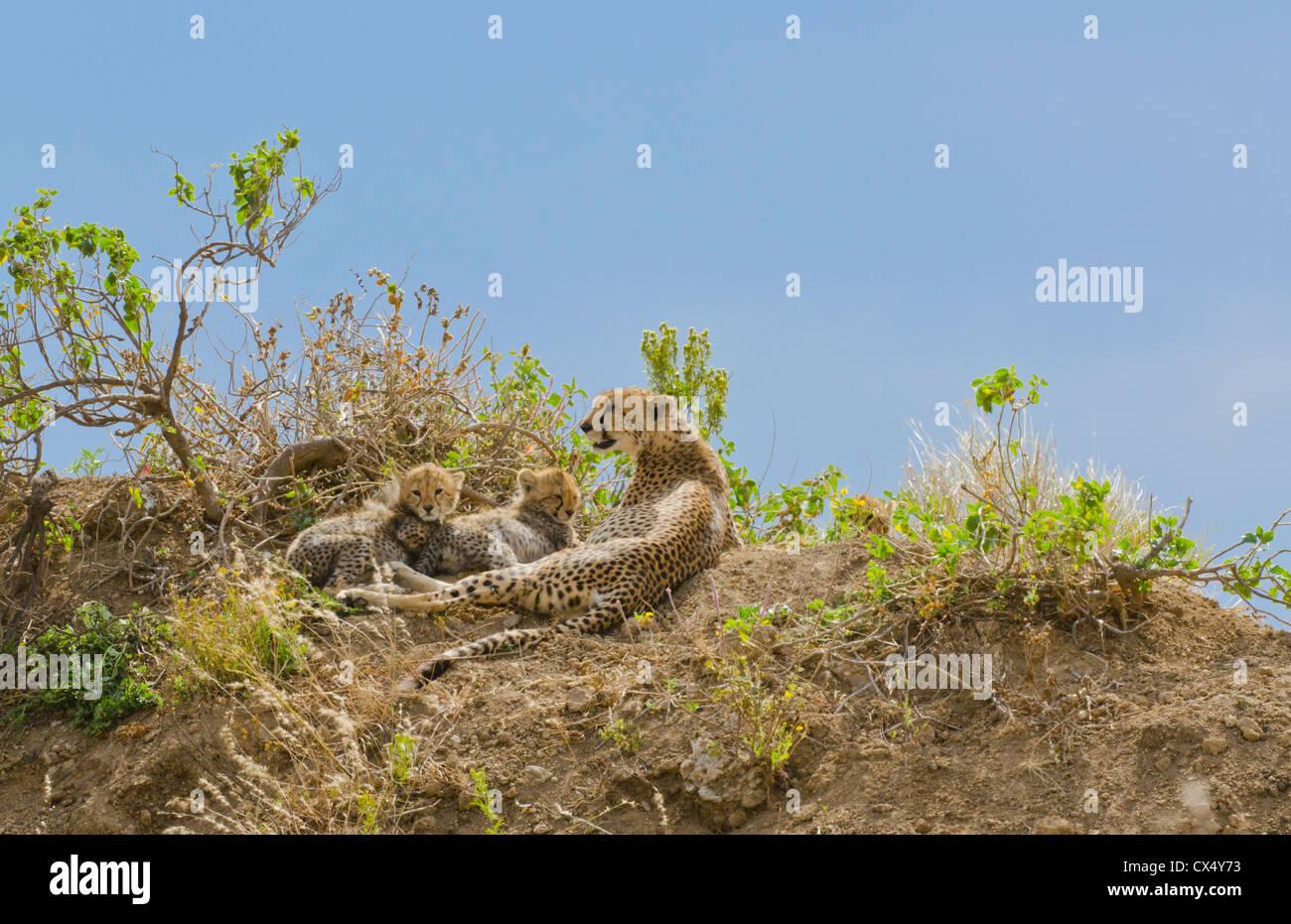 Amboseli National Park Kenya Africa safari female cheetah and cubs wild in reserve Amboseli  - Stock Image