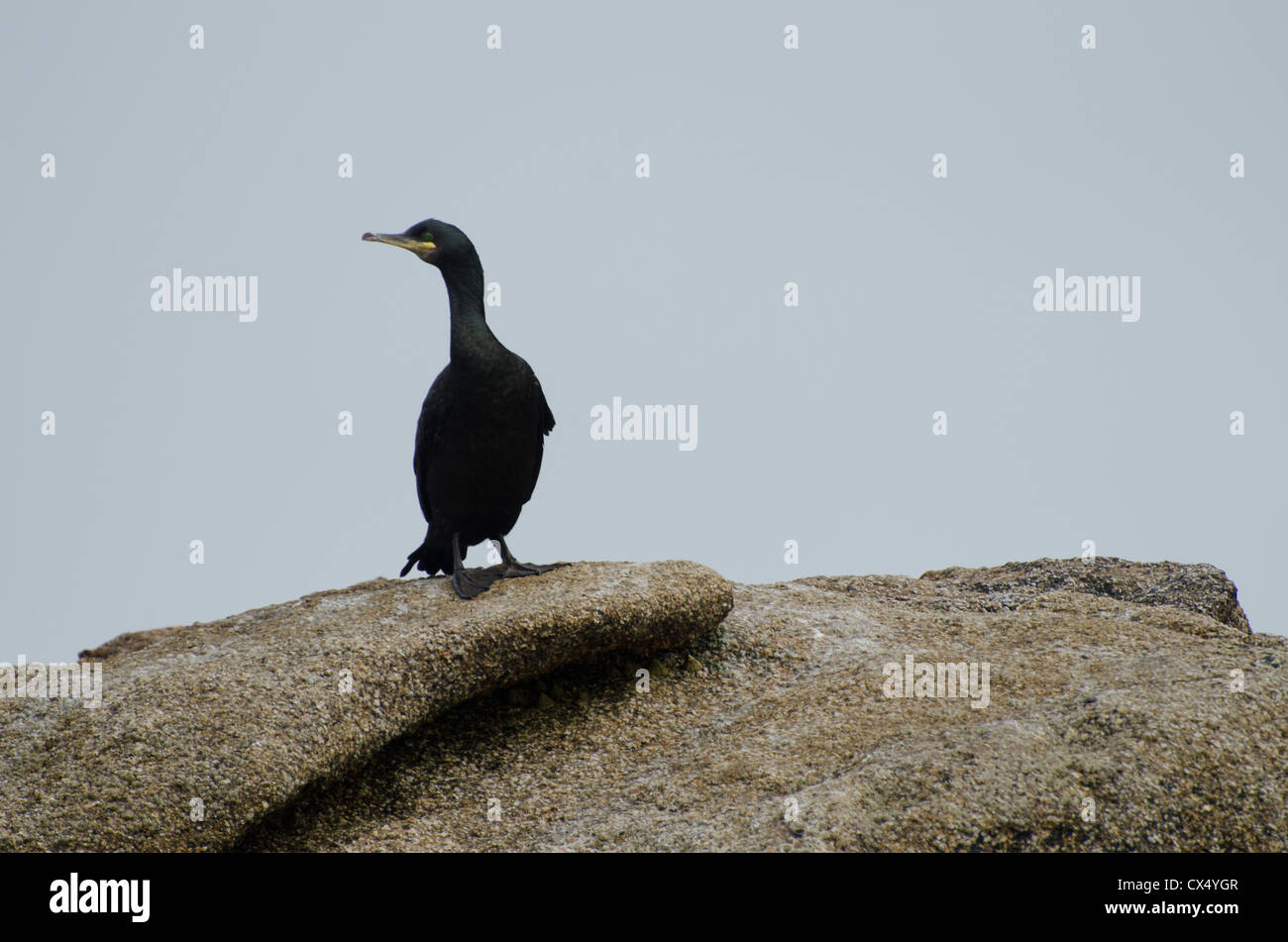 Shag at the scilly isles - Stock Image