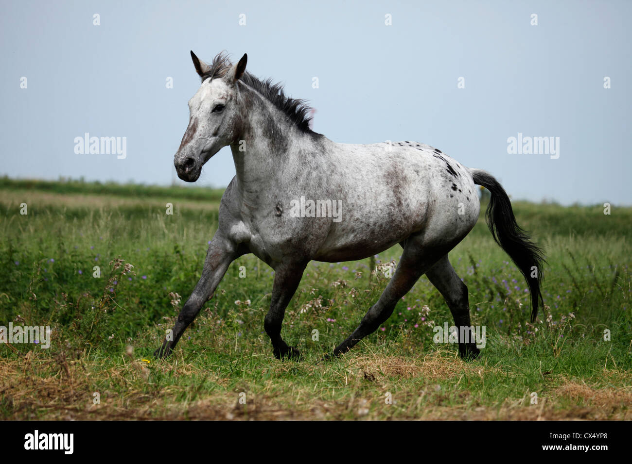 A Grey Appaloosa Horse High Resolution Stock Photography And Images Alamy