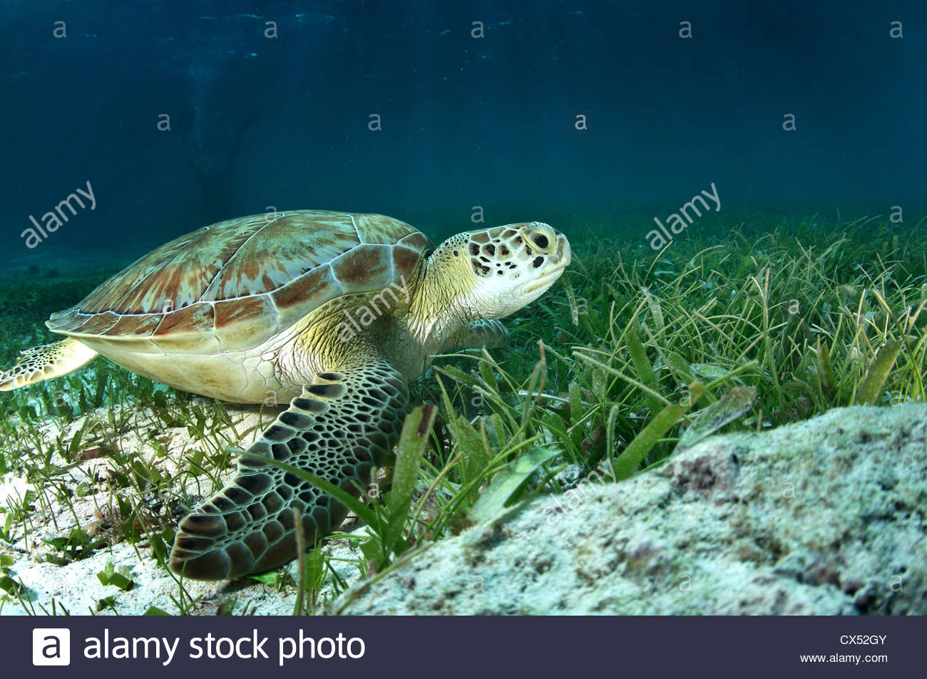 Green sea turtle, Ambergris Caye, Belize - Stock Image