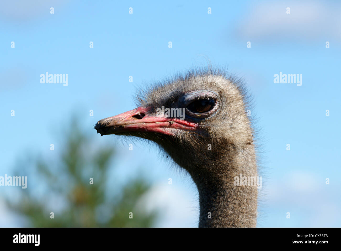 Portrait of an adult ostrich close up Stock Photo