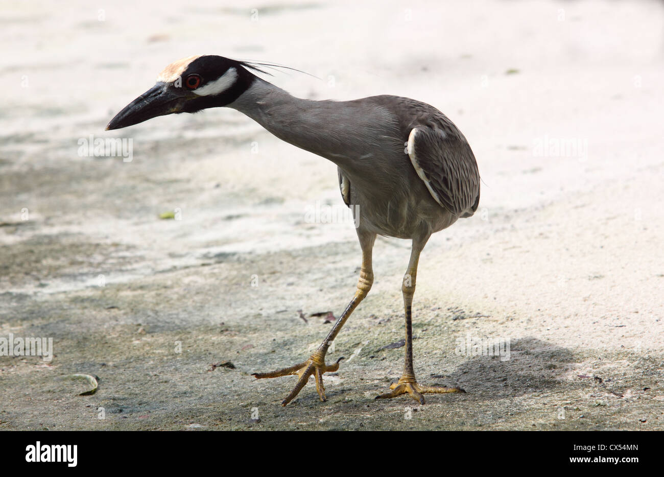 What's Up? - Yellow-crowned Night-heron, Antigua. - Stock Image