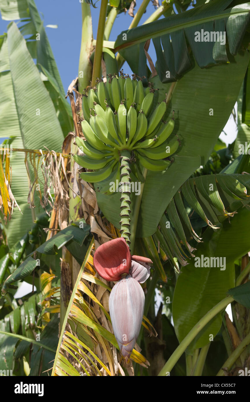 UNOPENED BANANA TREE FLOWER BLOSSOM - Stock Image