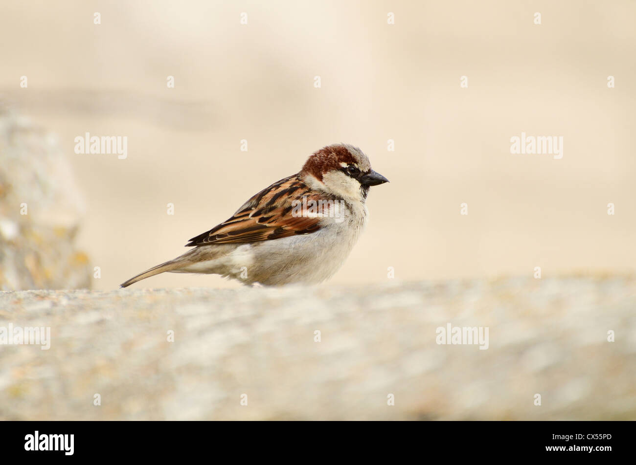 House Sparrow (Passer domesticus) adult male perched on a stone garden wall, Portland Bill, Dorset, United Kingdom Stock Photo