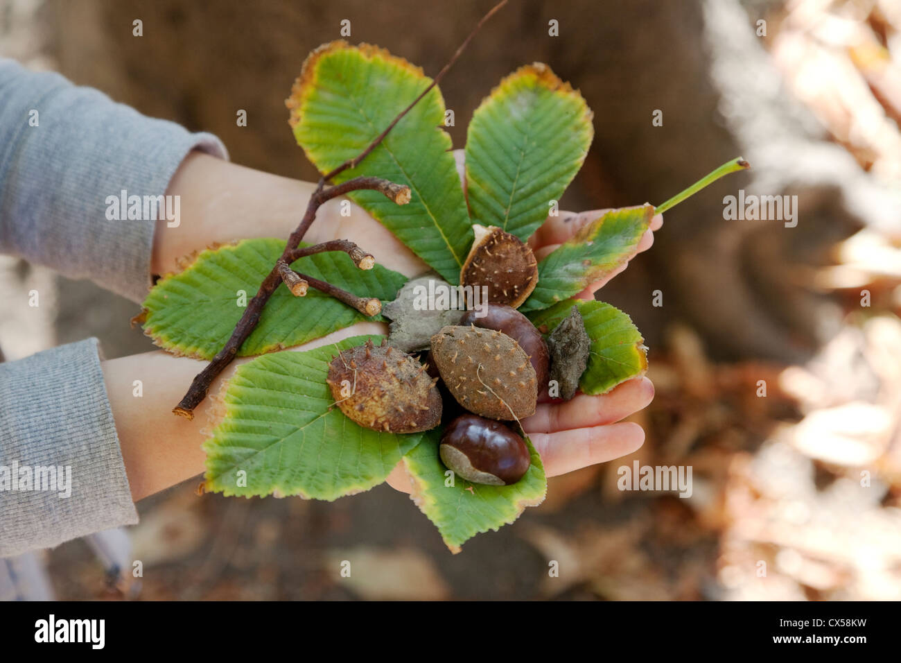 In the hands of a child branches, the leaves, fruits, seed and bark of Aesculus hippocastanum - Stock Image