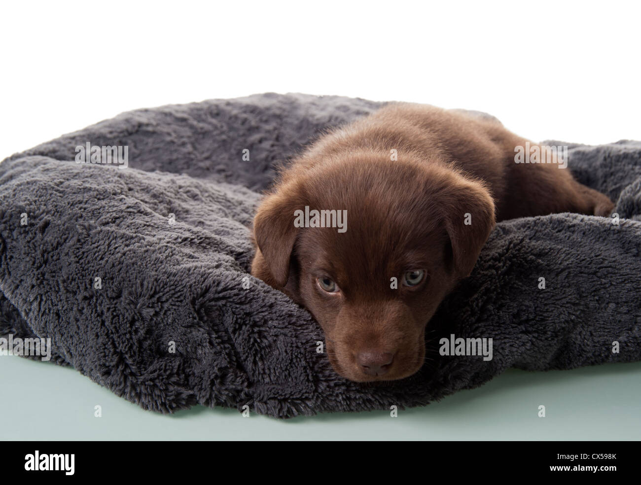Six week old brown labrador retriever puppy on his dog bed - Stock Image
