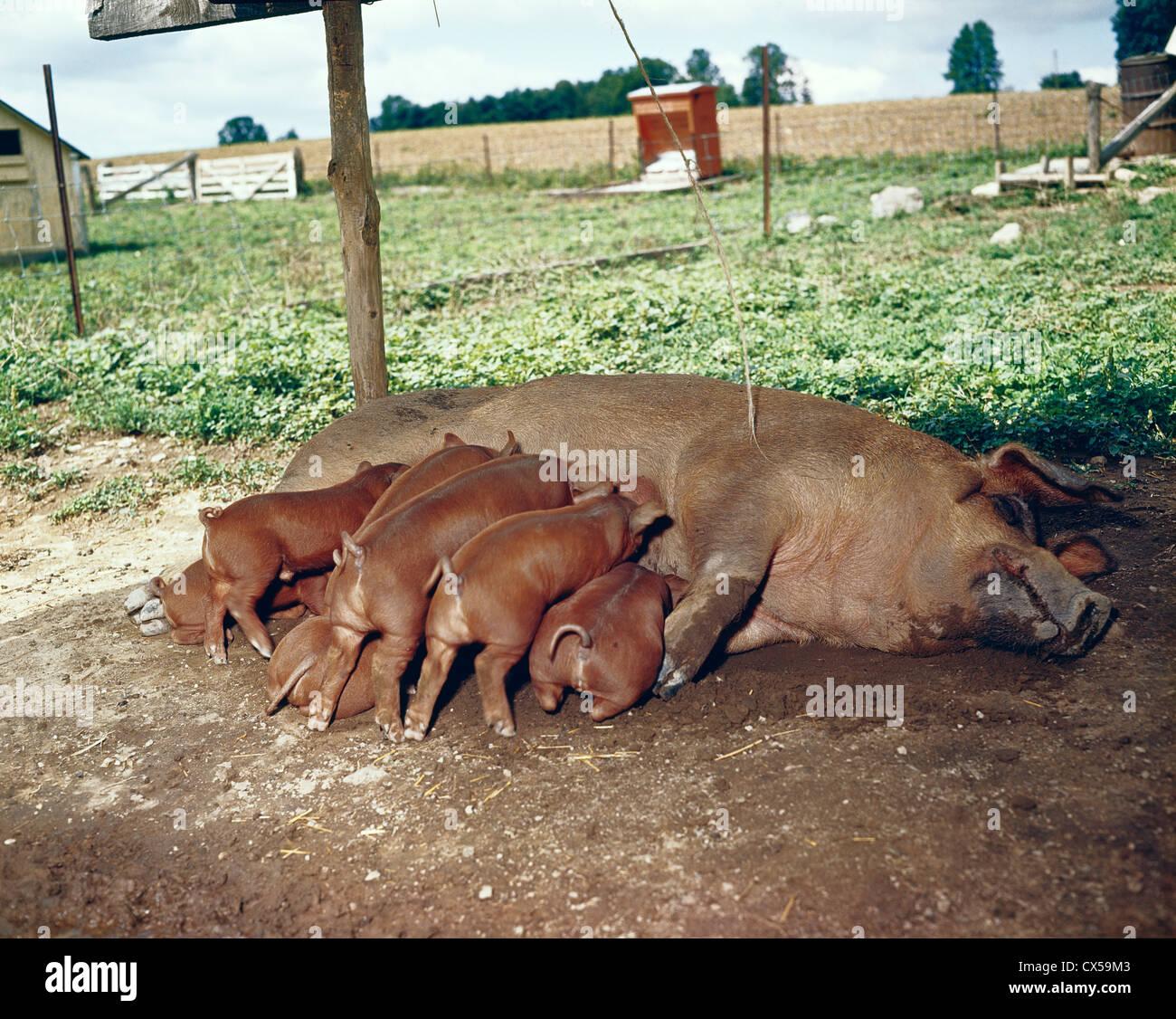 Duroc Pig Stock Photos & Duroc Pig Stock Images