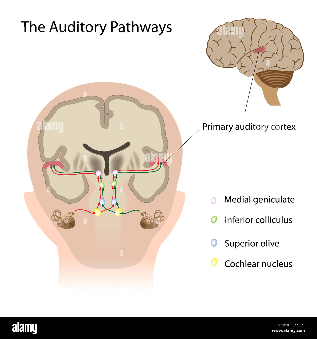 The auditory pathways - Stock Image