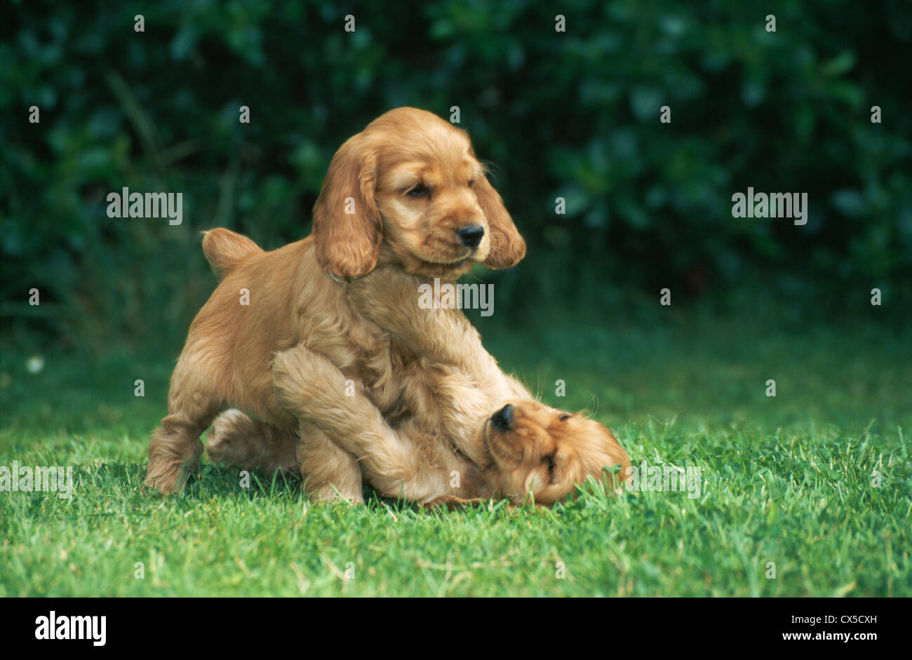 Two English Cocker Spaniel Puppies Playing Ireland Stock Photo Alamy