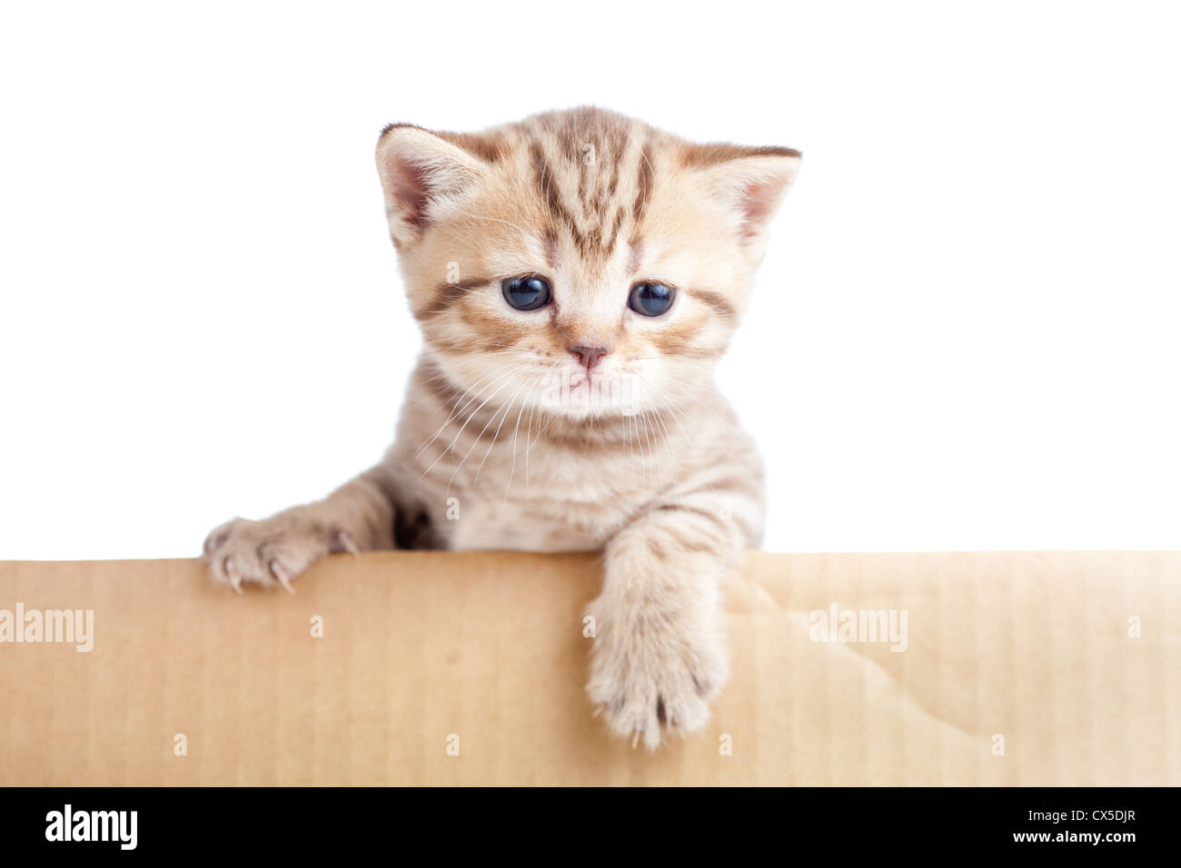 british baby cat in cardboard box isolated - Stock Image
