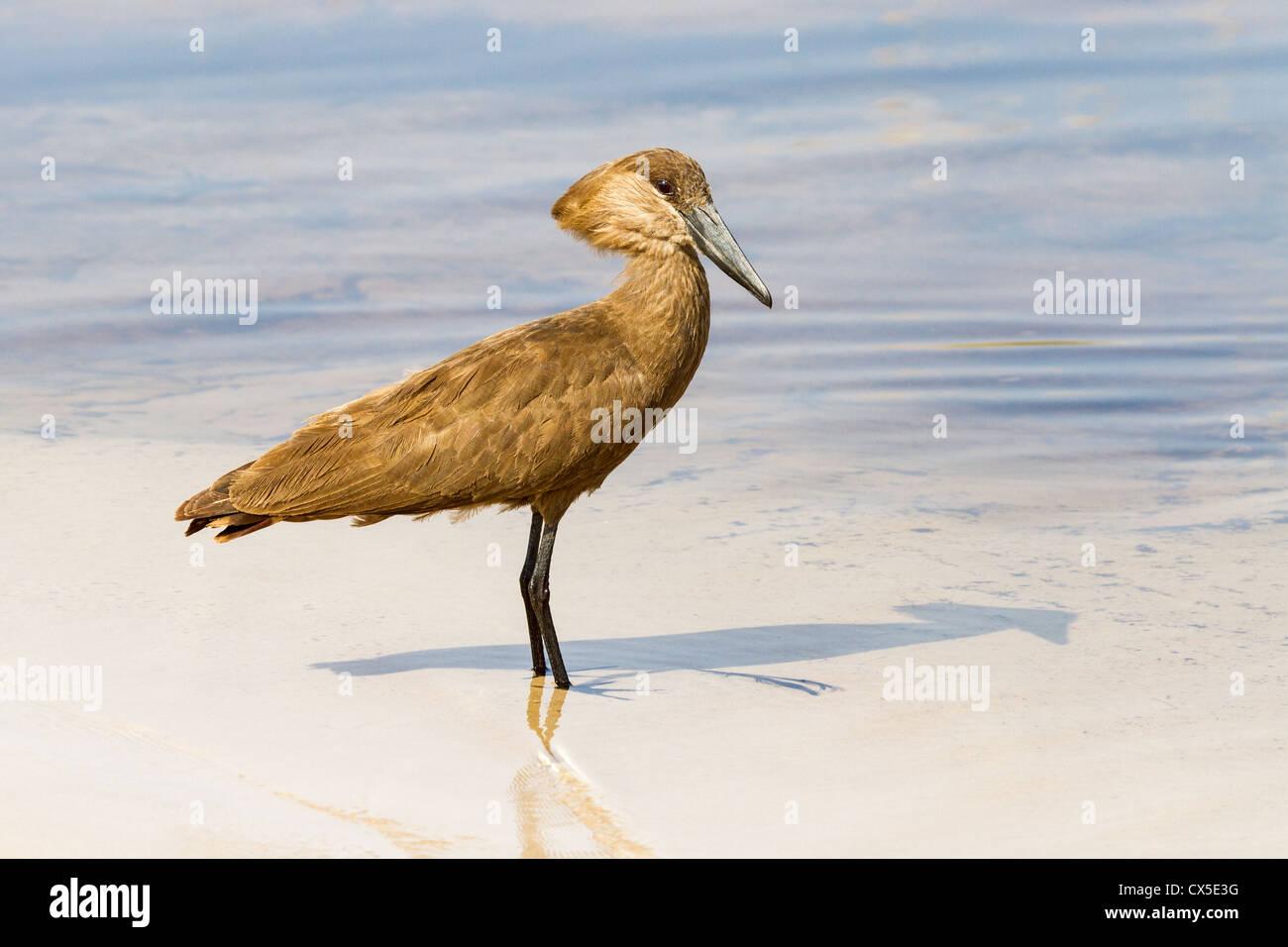 Hammerkop ( scopus umbretta) wading near Third Bridge, Moremi, Botswana Stock Photo