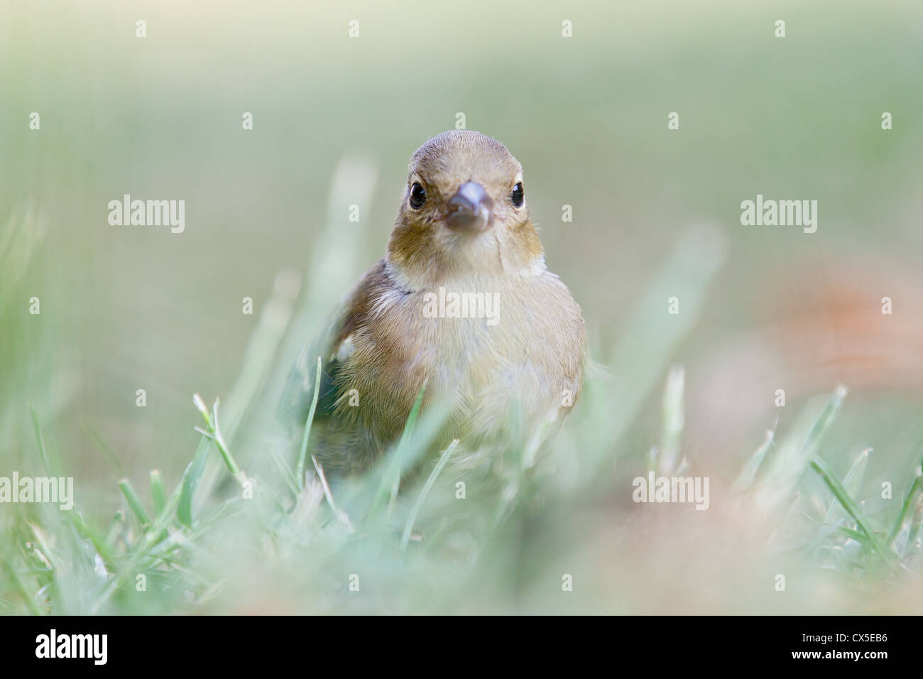 Young female chaffinch (Fringilla coelebs), Sussex, England. Stock Photo