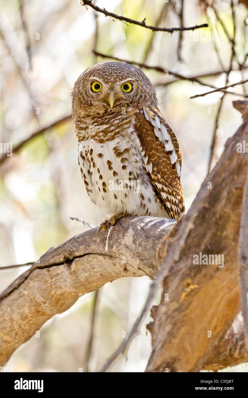 Pearl-spotted owlet (glaucidium capense), perched in a tree near Maun, Botswana - Stock Image