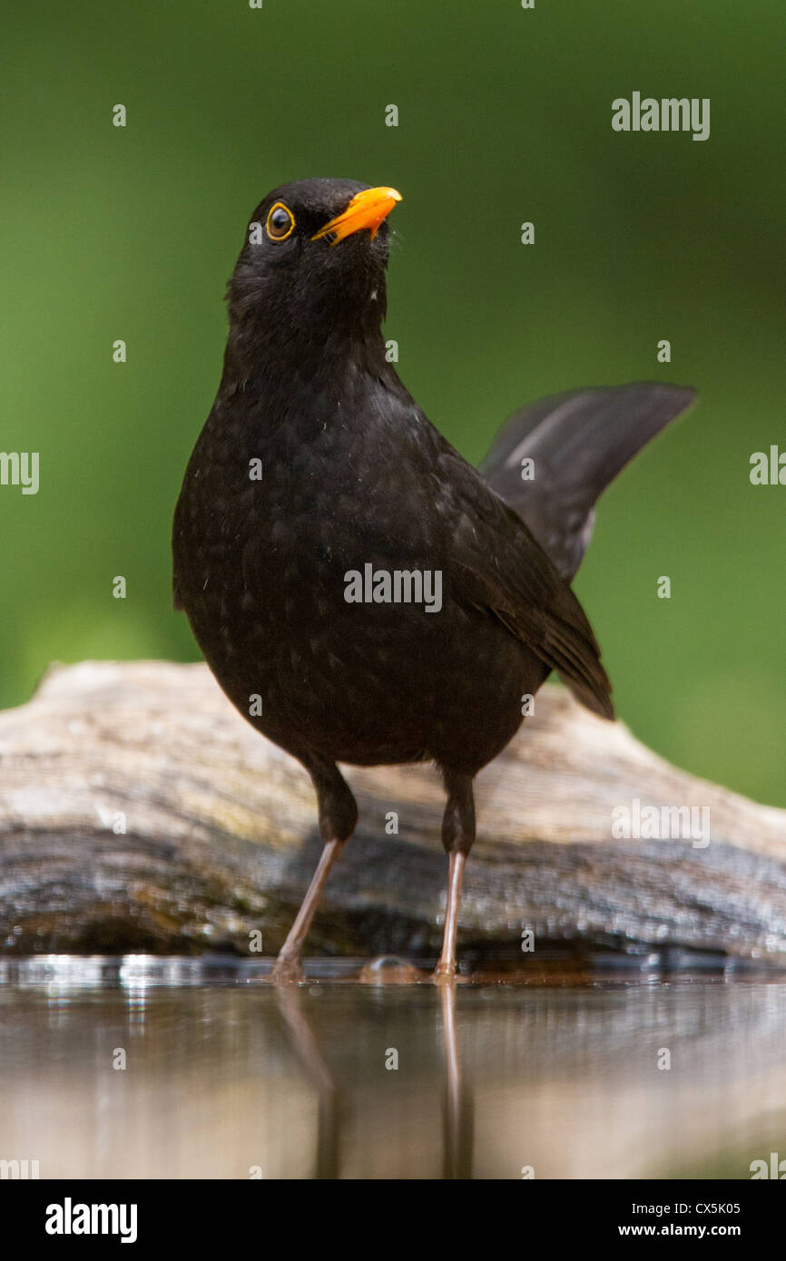Common blackbird (Turdus merula) bathing at a forest pool in Hungary. - Stock Image