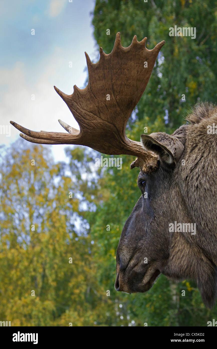 Moose / Eurasian elk (Alces alces) in the taiga in autumn, Värmland, Sweden - Stock Image
