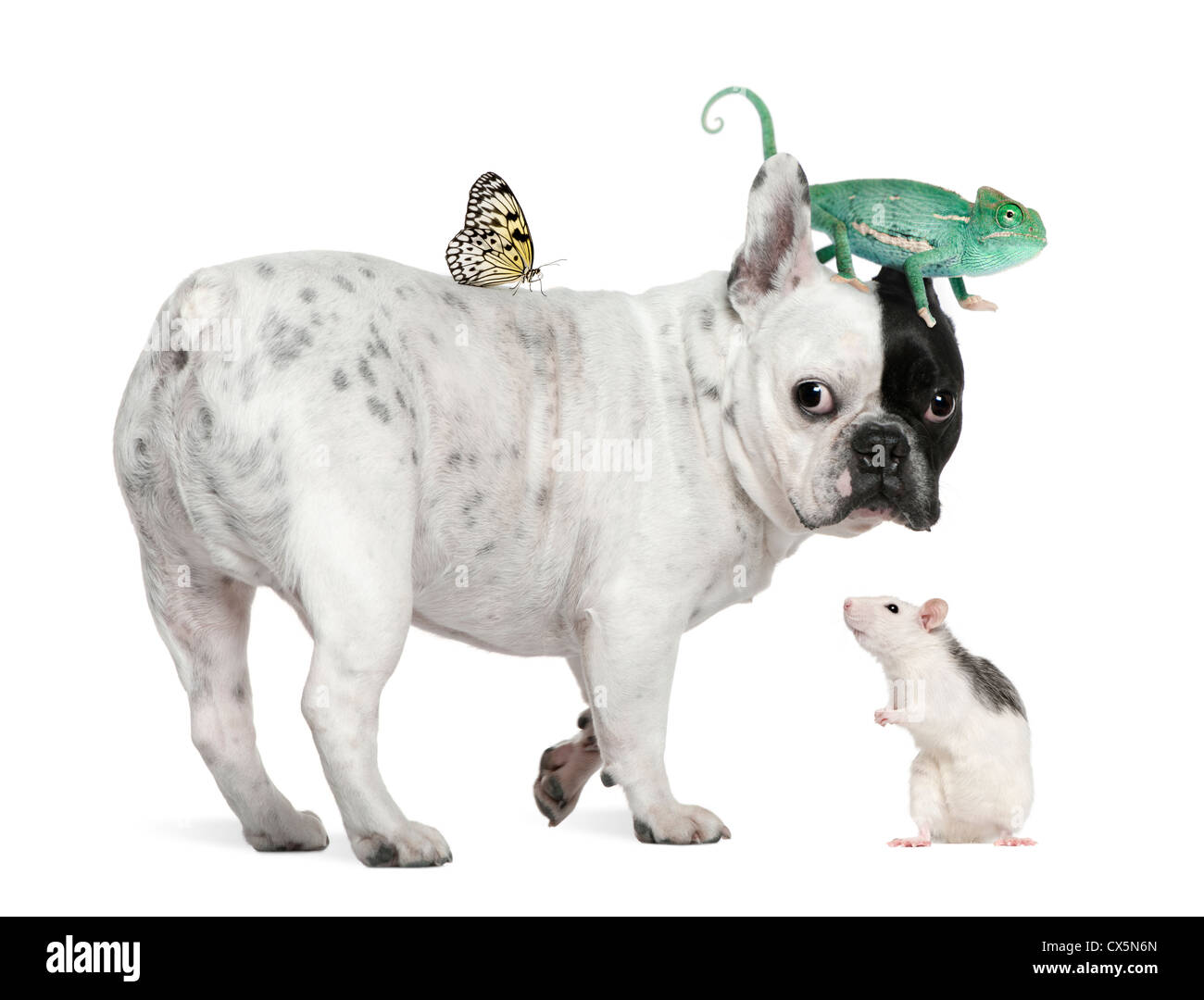 French bulldog with chameleon, rat and butterfly against white background - Stock Image