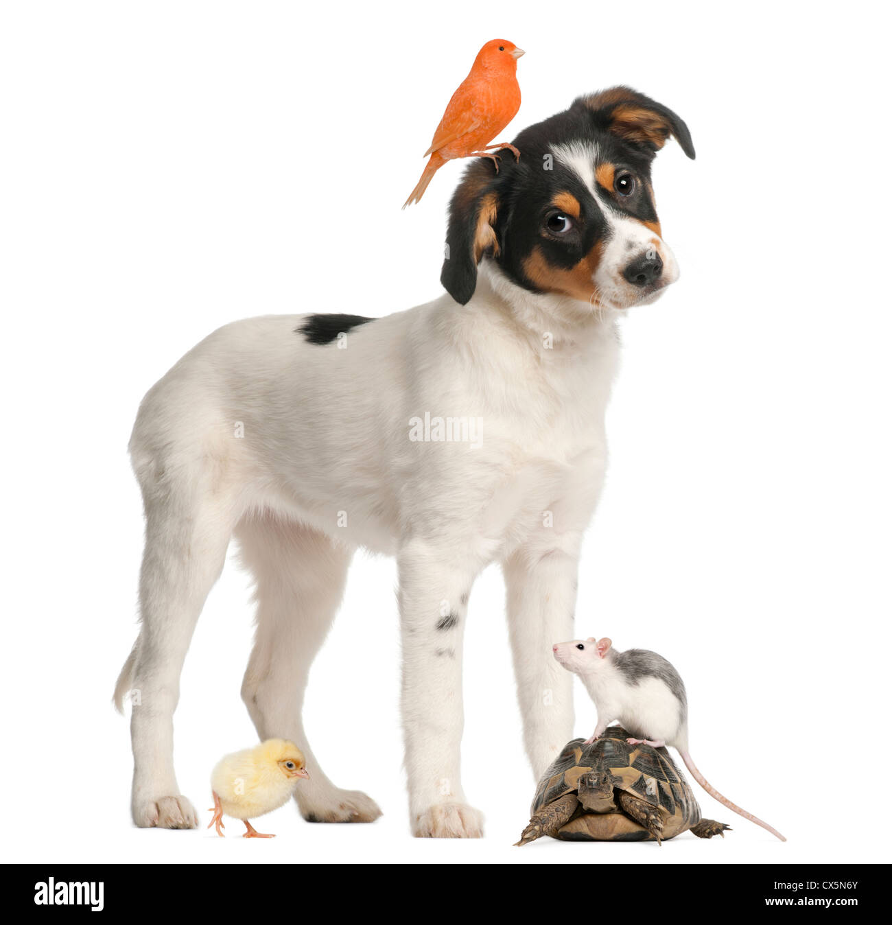 Mixed breed puppy, canary, chick, turtle and rat against white background - Stock Image