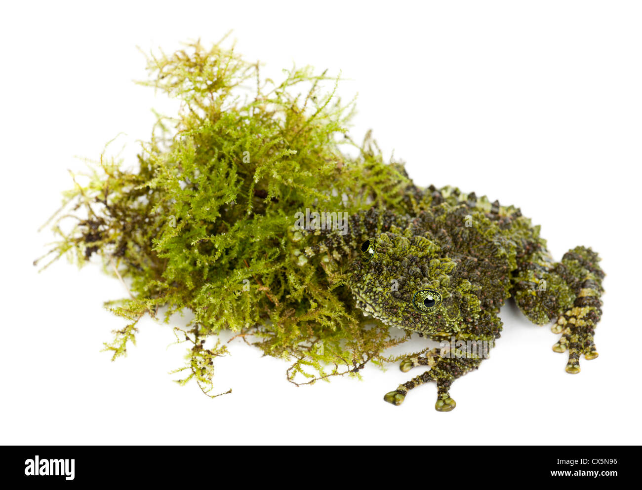 Mossy Frog, Theloderma corticale, also known as Vietnamese Mossy Frog or Tonkin Bug-eyed Frog, portrait against - Stock Image
