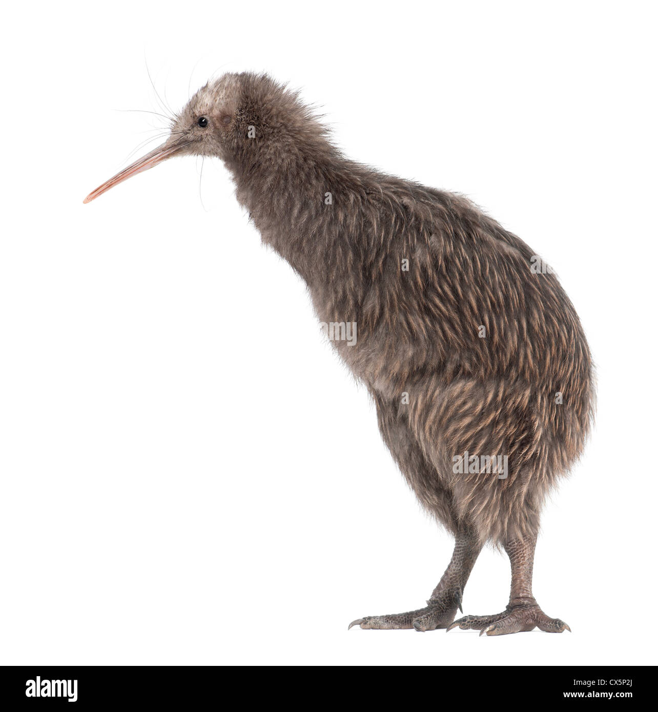 North Island Brown Kiwi, Apteryx mantelli, 5 months old, standing against white background - Stock Image