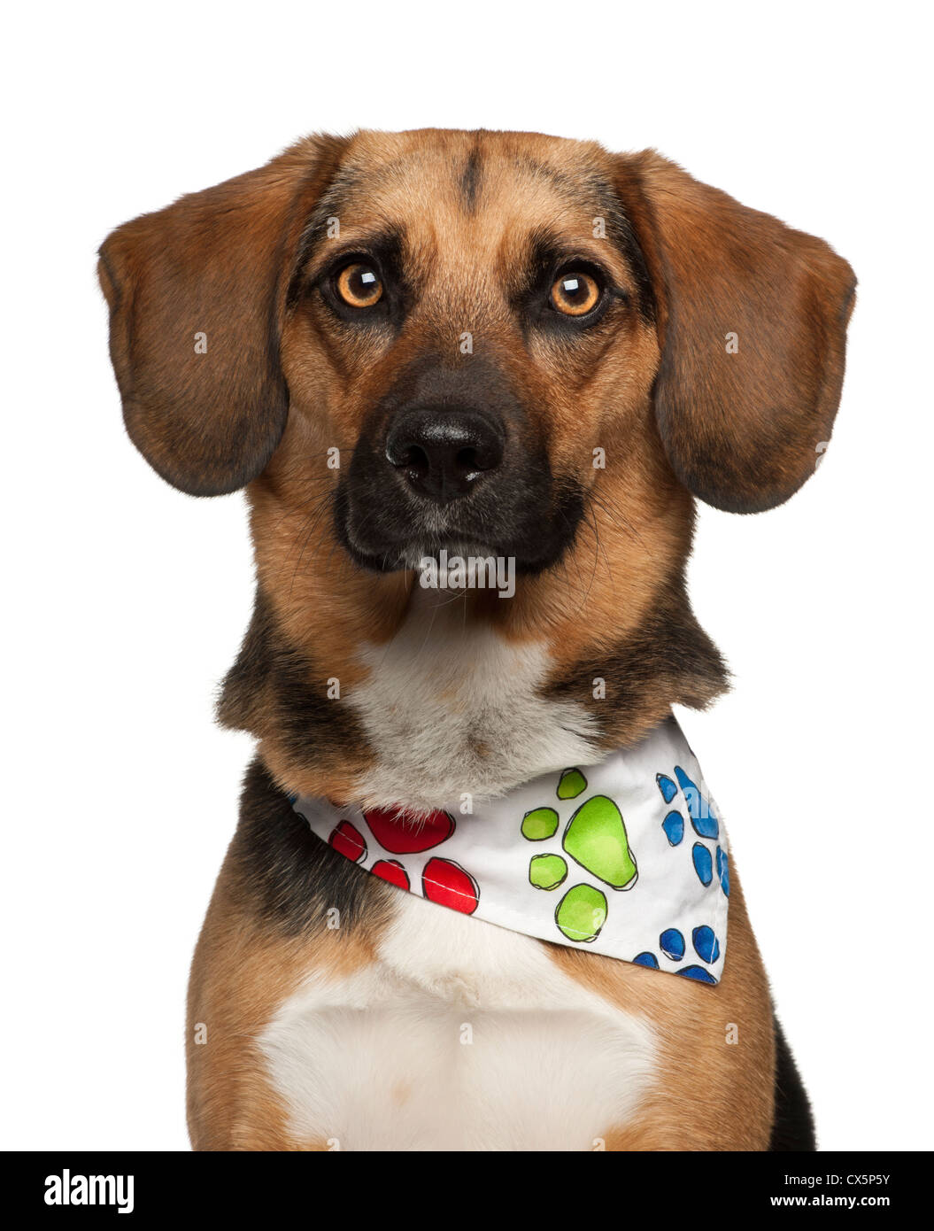 Dog cross bred with beagle, 2 years old, wearing neckerchief against white background - Stock Image