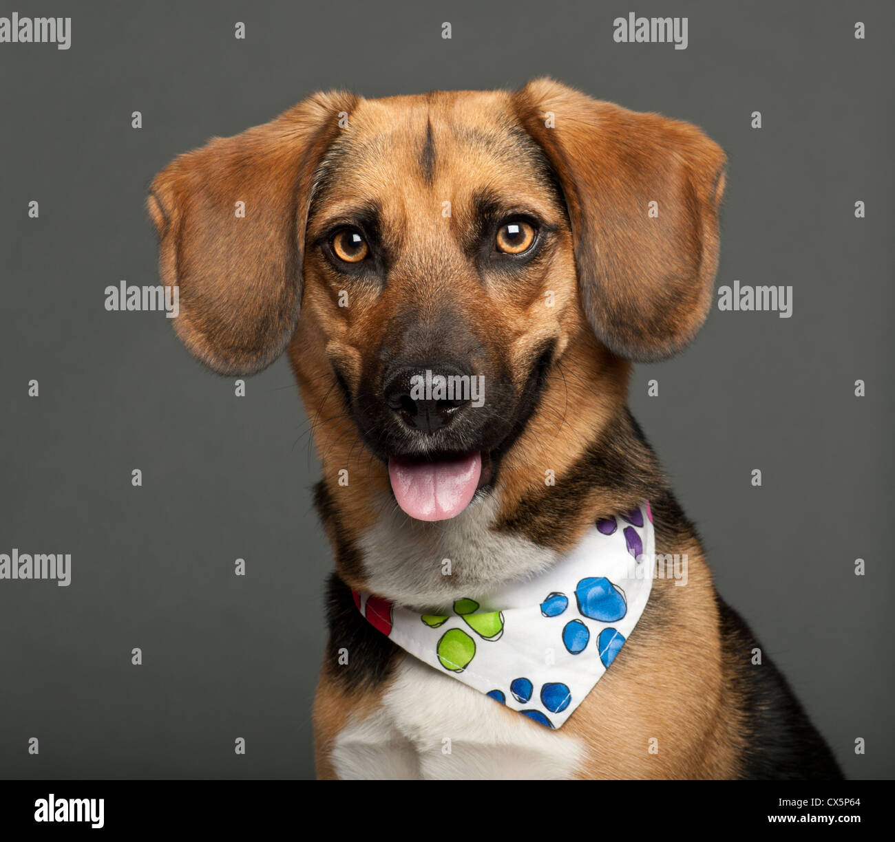 Dog cross bred with beagle, 2 years old, wearing neckerchief against gray background - Stock Image