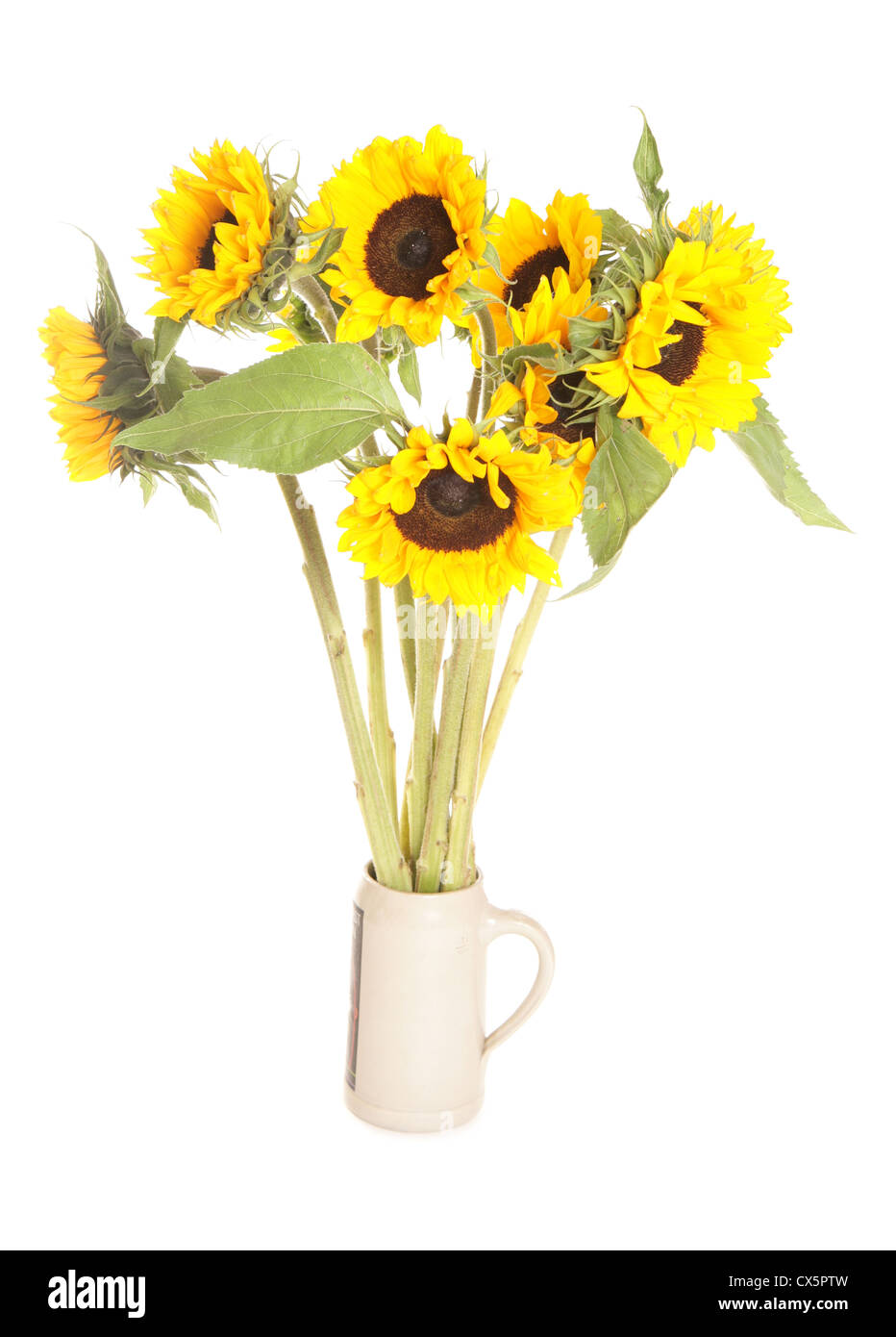 Bunch of sunflowers studio cutout - Stock Image