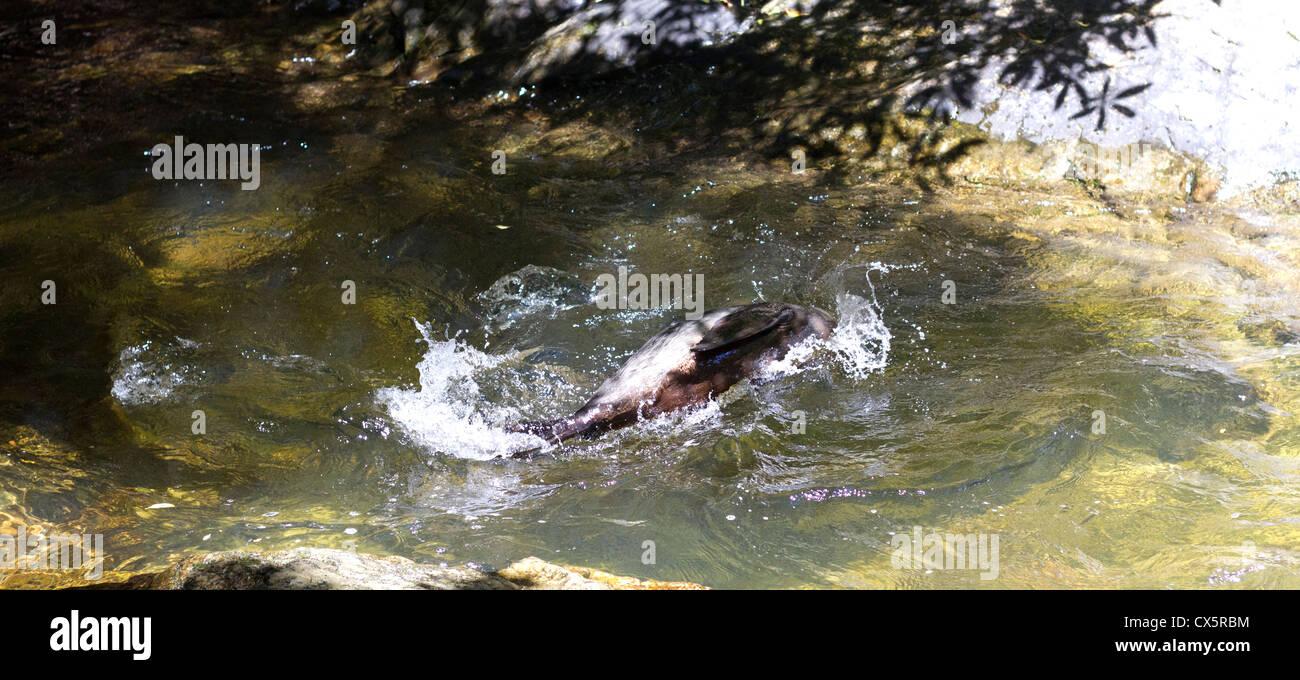 Ohau Stream Walk Seal Pup