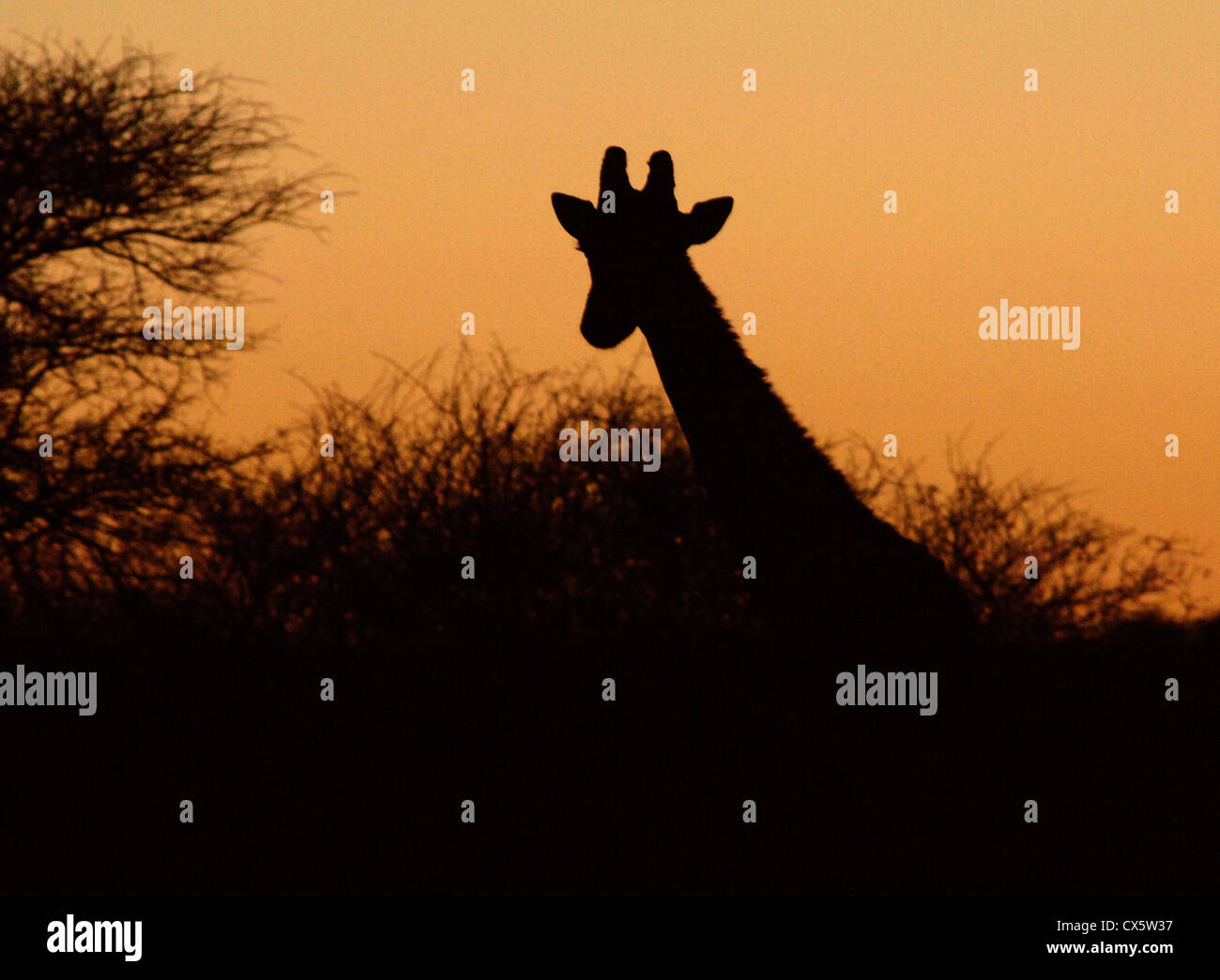 Silhouette of a Giraffe at sunset on African plains. - Stock Image