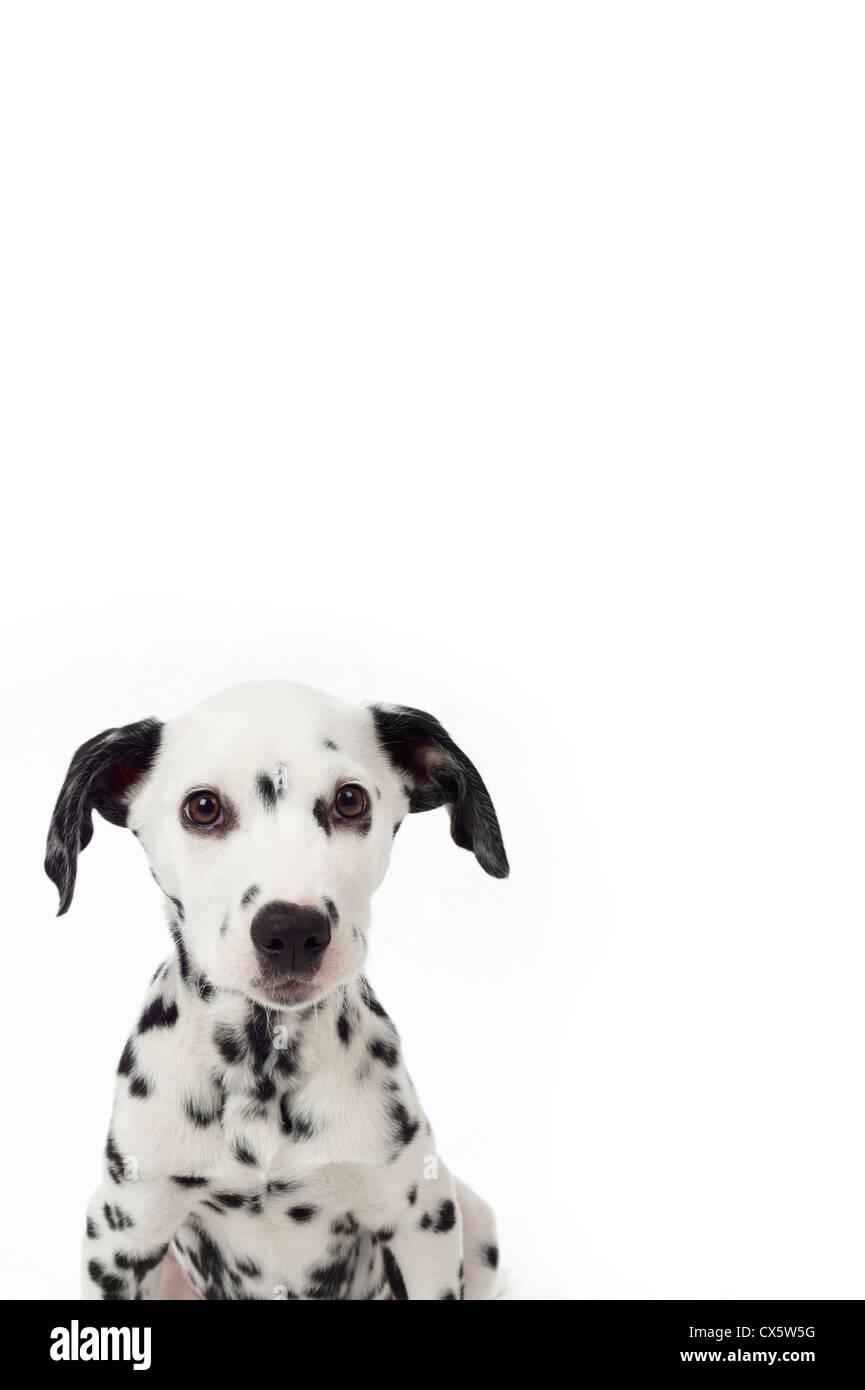Dalmatian puppy portrait, studio shot with white background - Stock Image