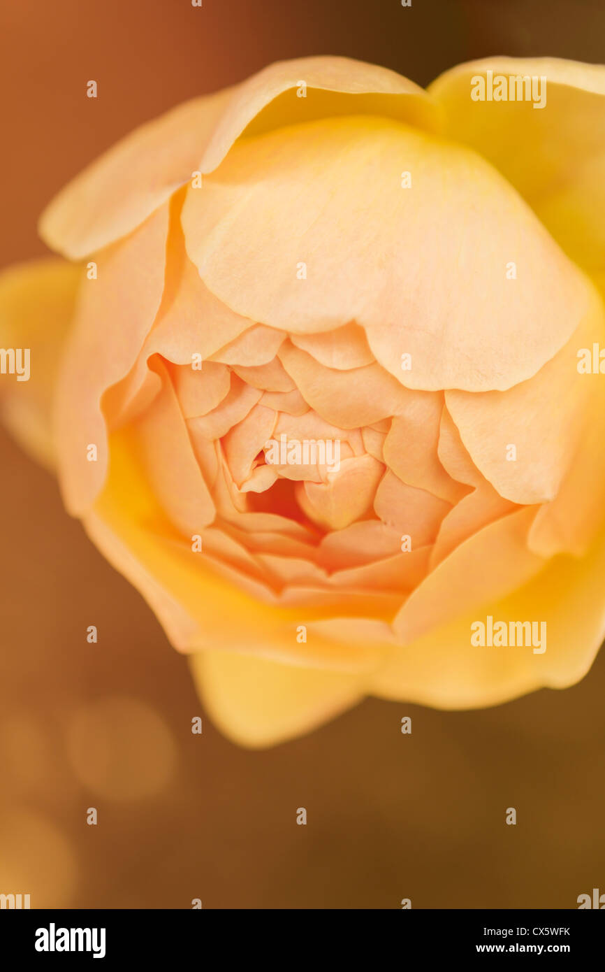 Jude the Obscure rose in bloom against a golden background - Stock Image