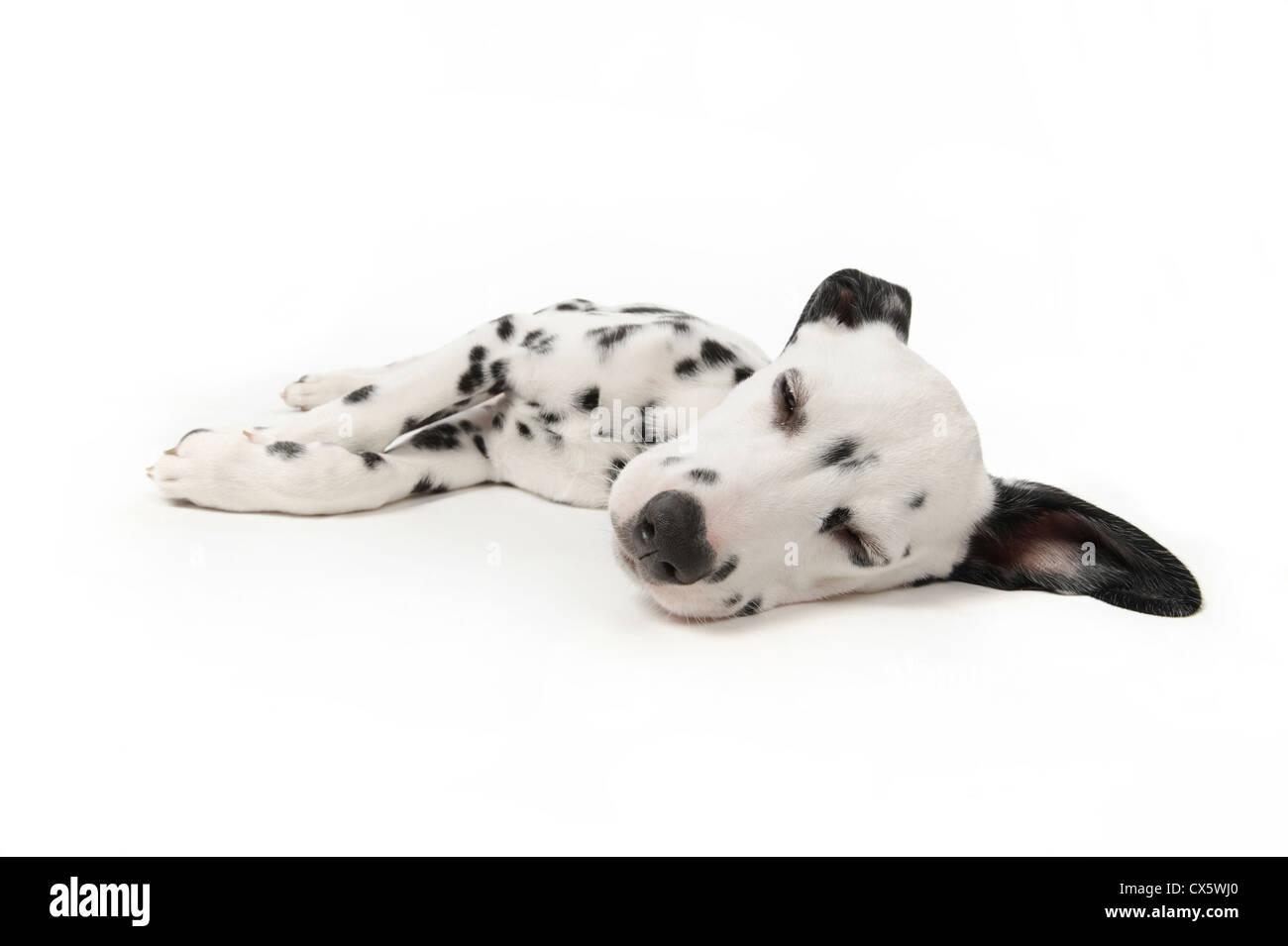 Dalmatian puppy lying down sleeping, studio shot with white background - Stock Image