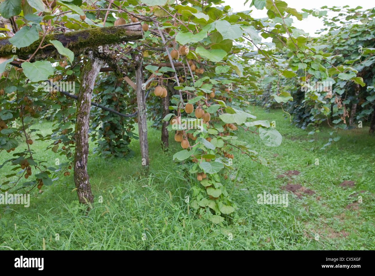 Kiwi fruit plantation, France - Stock Image