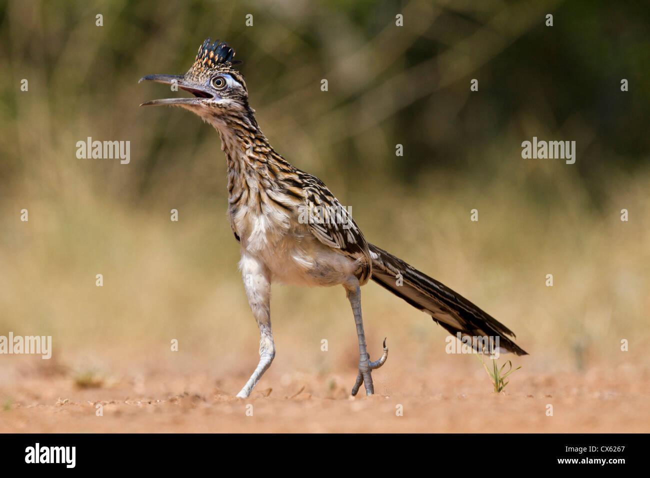 Greater Roadrunner (Geococcyx californianus) in Texas - Stock Image