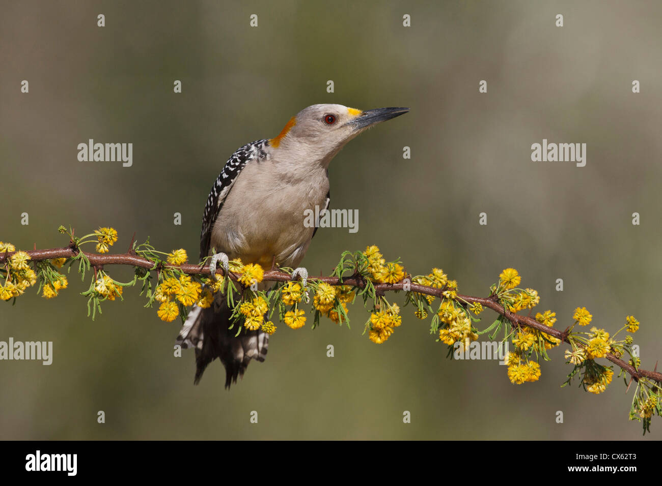 Golden-fronted Woodpecker (Melanerpes aurifrons) female perched on blooming Huisache limb Stock Photo
