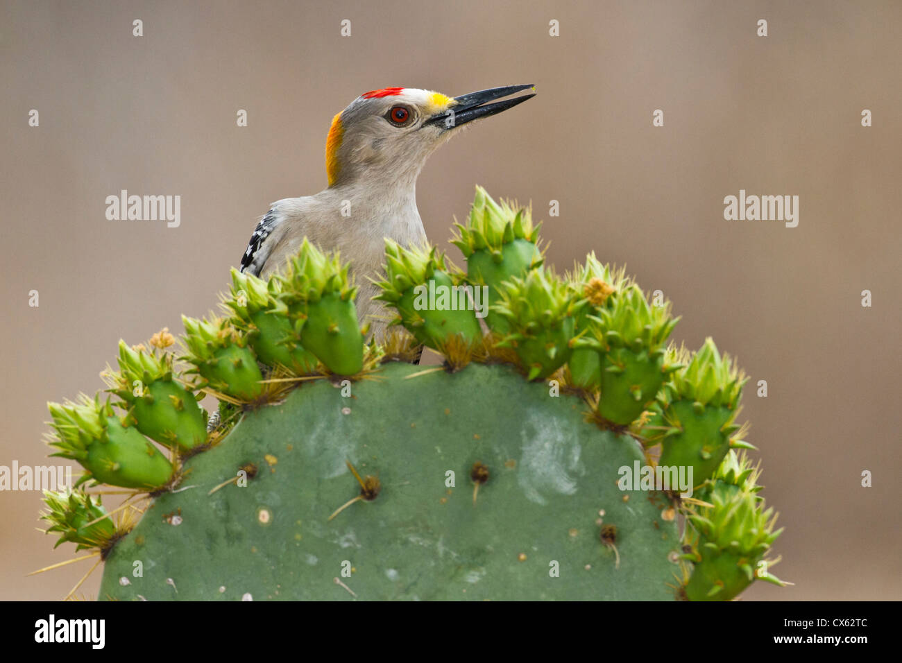 Golden-fronted Woodpecker (Melanerpes aurifrons) adult male perched on prickly pear cactus Stock Photo