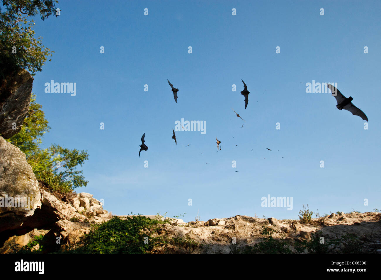 Mexican Free-tailed Bats (Tadarida brasiliensis) going into Stuart Bat Cave at Kickapoo Cavern State Park, Bracketville, - Stock Image