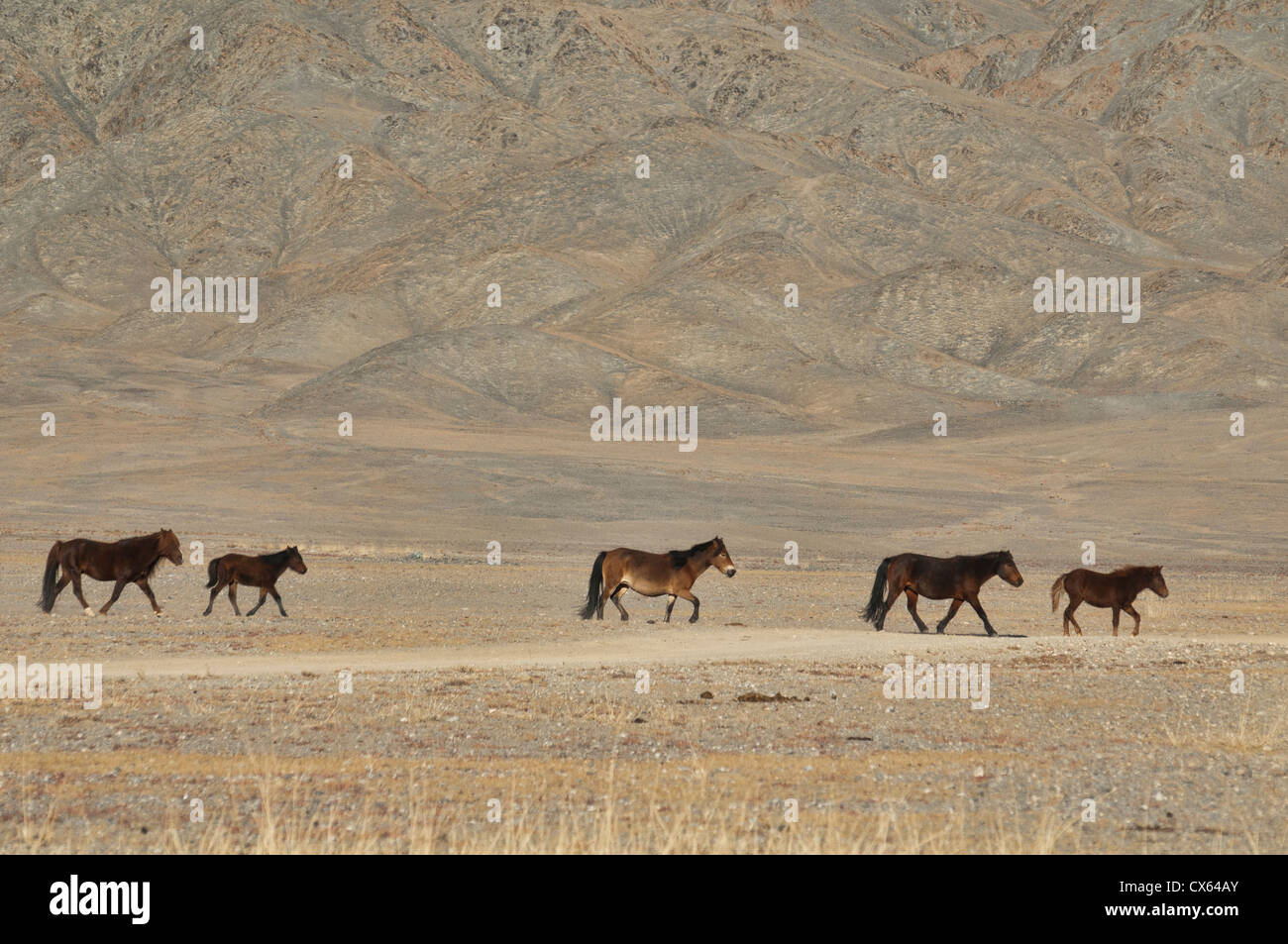 A Group Of Wild Horses In The Beautiful Range Country Of The Altai Stock Photo Alamy