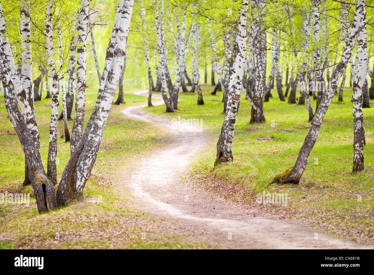birch forest or park Stock Photo