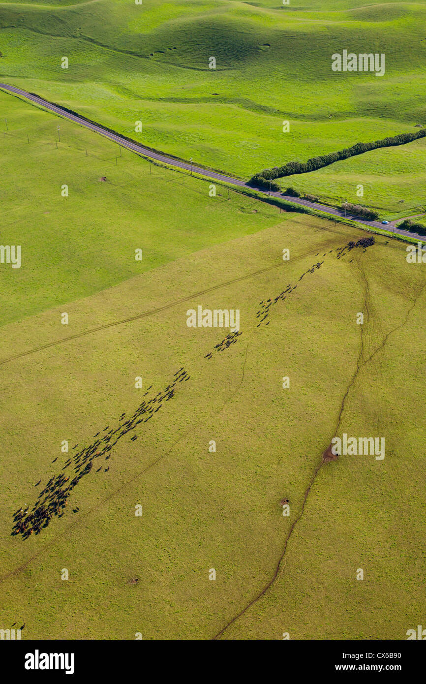 Cattle, Ranch Land, Kohala Mountain Road , Route 250, North Kohala, Big Island of Hawaii Stock Photo